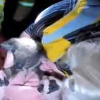 Adorable Injured Koala Brought Back to Life By CPR: WATCH