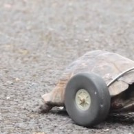 Tortoise Gets its Ride Pimped After Rat Chews Off its Legs: VIDEO