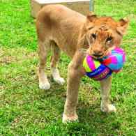 These Rescued Circus Lions are Recovering Nicely From a Lifetime of Abuse: PHOTOS
