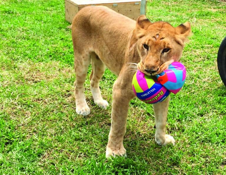 rescued Circus lions