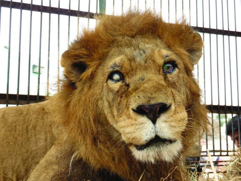 7_lion