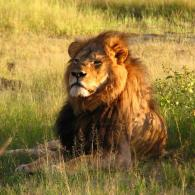 The Cecil Effect: US Just Added Lions to its Endangered List to Protect Them from Trophy Hunters