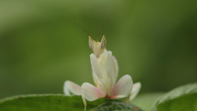 A female juvenile orchid mantis