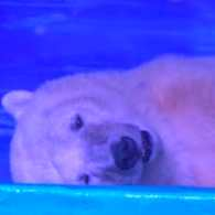 Polar Bear Held Captive in Chinese Mall So People Can Take Selfies With It