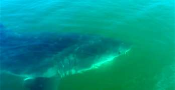 Great White Shark Provincetown