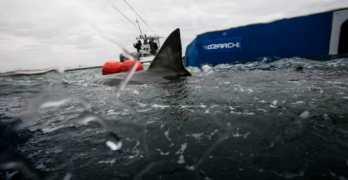 great white shark lydia