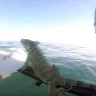 Iguana Found Swimming 4 Miles from Land Hitches Ride Home with Key West Kayaker: WATCH