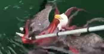 eagle octopus