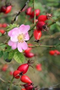rose hips shapes