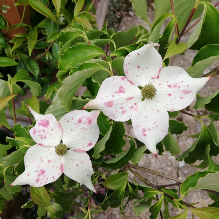 Cornus Kousa flower