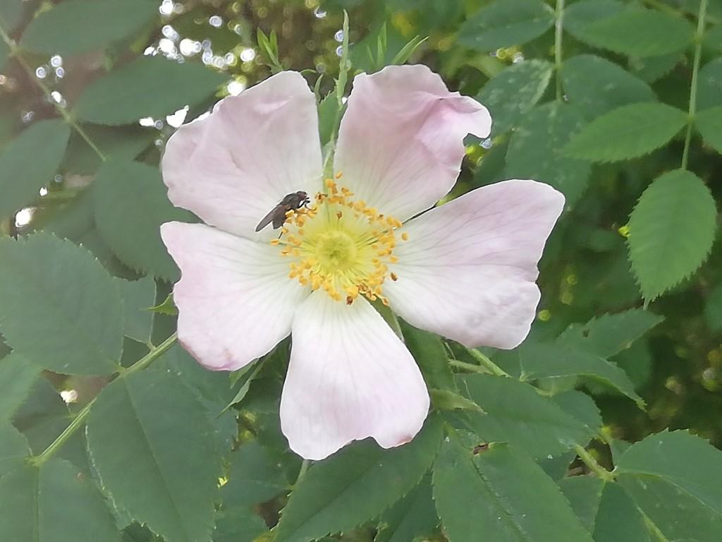 Image of wild rose