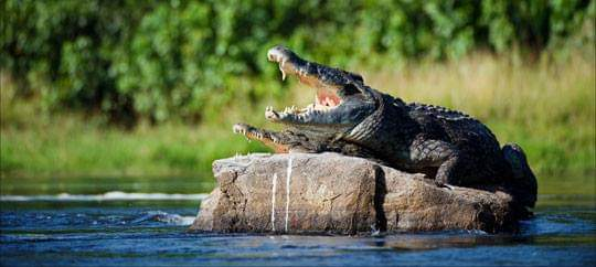 Crocodile in Lekki Conservation Center wildlife