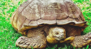 Oldest tortoise of Ogbomosho in Oyo State
