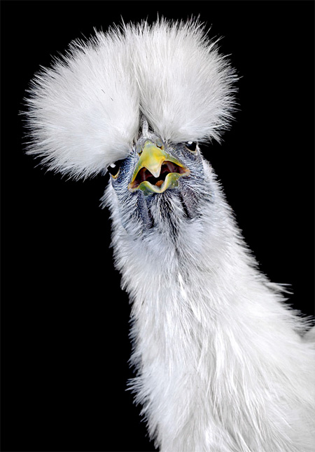 Chicken Beauty Pageants