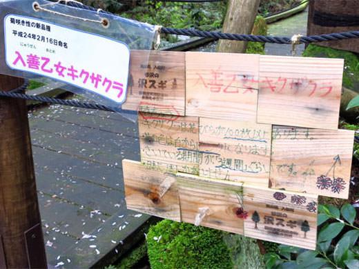 世界でひとつの新品種の桜 入善乙女キクザクラ