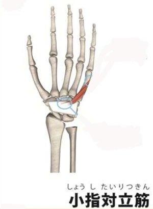 小指対立筋