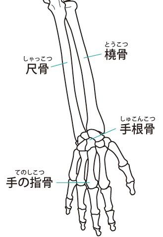 手首と前腕の骨