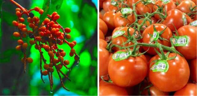 Tomatoes CÓMO ERAN LAS FRUTAS Y VERDURAS EN SUS ORÍGENES