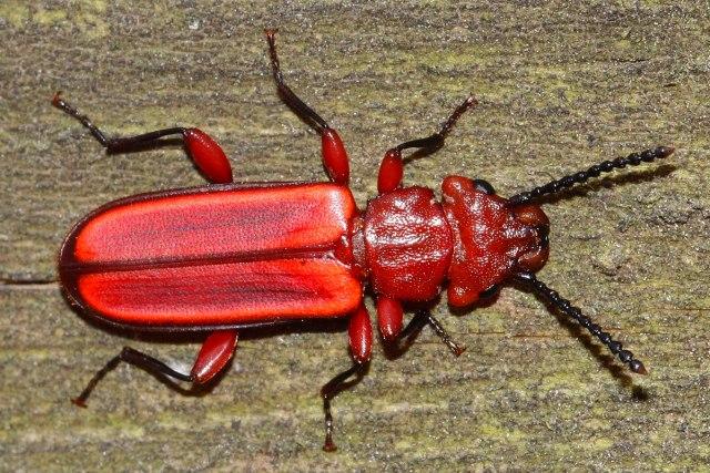 escarabajo rojo animales ANIMALES EXTRAORDINARIOS Y DÓNDE ENCONTRARLOS