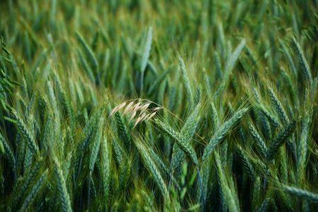 cultivazione grano verde campo