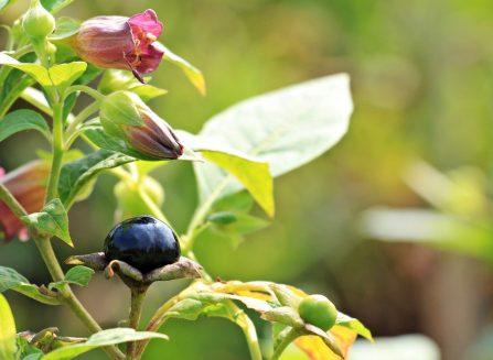 belladonna fiore pianta tossica