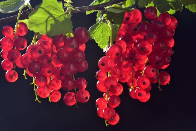"""berry red THE BLACK LIST OF """"FORBIDDEN"""" PLANTS IN ANTIQUITY"""