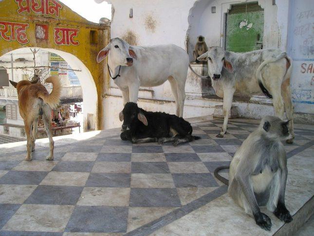 animals india monkey dog cow bovine