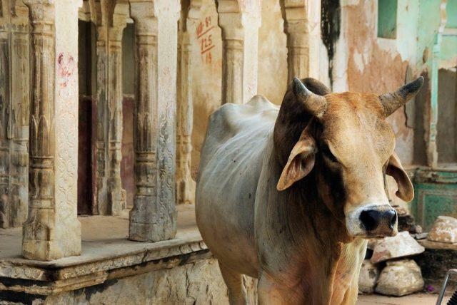 """vaca sagrada india cultura religión LA LISTA NEGRA DE LAS PLANTAS """"PROHIBIDAS"""" EN LA ANTIGÜEDAD"""