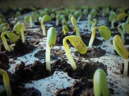 germogli terra cultivazione semi