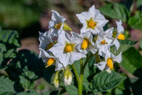 fiore patata LE PATATE: L'ALIMENTO DEGLI DEI