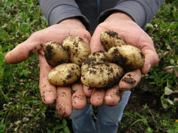 patatas manos tierra vegetal verdura vitaminas nutrientes LAS PATATAS: EL ALIMENTO DE LOS DIOSES