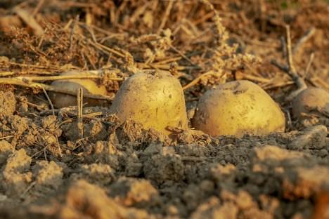 patate terra alimento LE PATATE: L'ALIMENTO DEGLI DEI