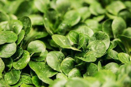 insalata verde vitamina fotosintesi