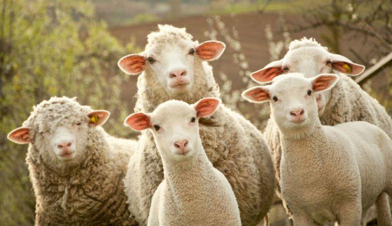Photo of NEMA BEŽANJA! Policajci priveli stado ovaca!