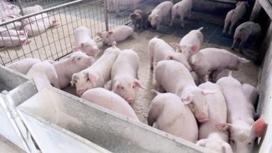 Photo of PANIKA U OPŠTINI NEGOTIN: Pojavila se afrička svinjska kuga