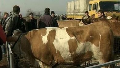 Photo of OD DANAS: Počele sa radom stočne pijace na teritoriji opštine Petrovac na Mlavi