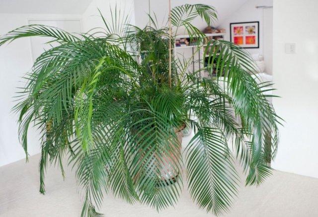Rezultat slika za areka palma