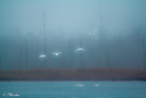 Tundra Swans Take Flight on a Foggy Winter Day