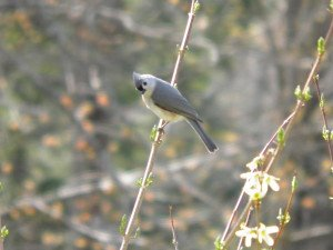 Tufted Titmouse is ticked off