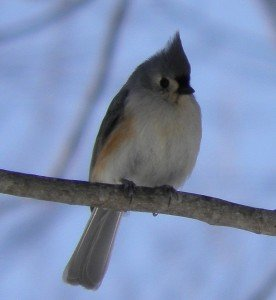 Tufted Titmouse is tiny