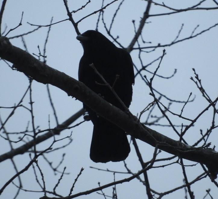 Crow with Nikon 1