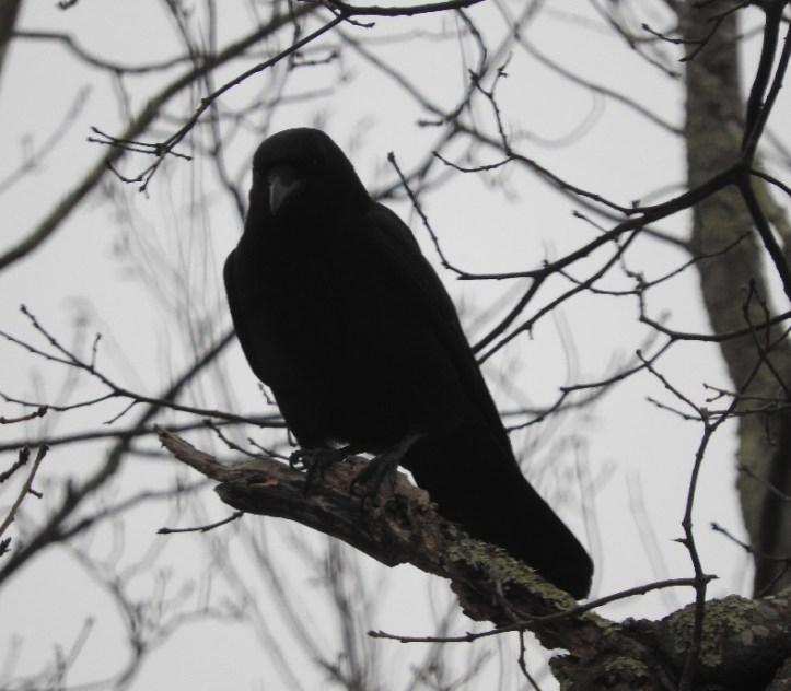 Crow with Nikon 2