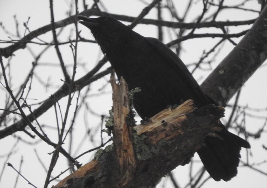 Crow with Nikon 3