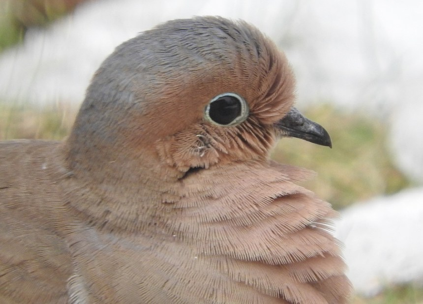 Mourning Dove close-up