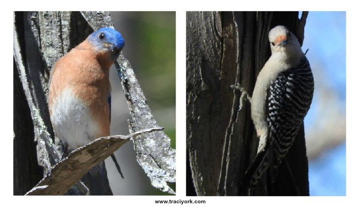 Composite of two curious birds (Bluebird & Red-bellied Woodpecker).
