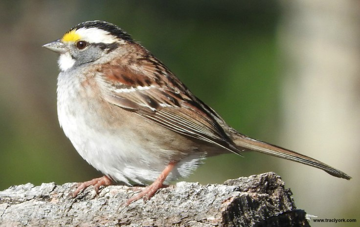 A White-throated sparrow posed pretty for me.