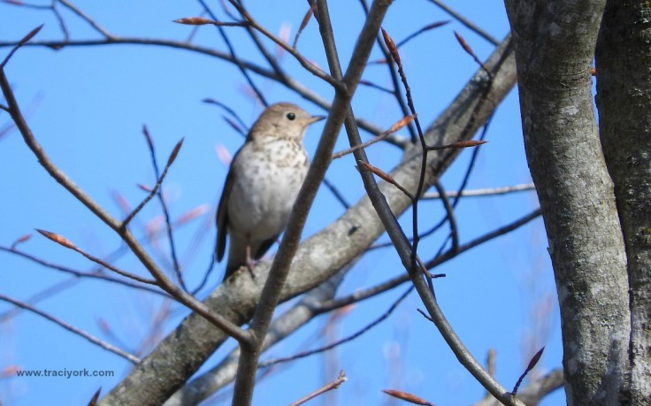 New bird for me - a Hermit Thrush came out of hiding, and let me snap a shot!