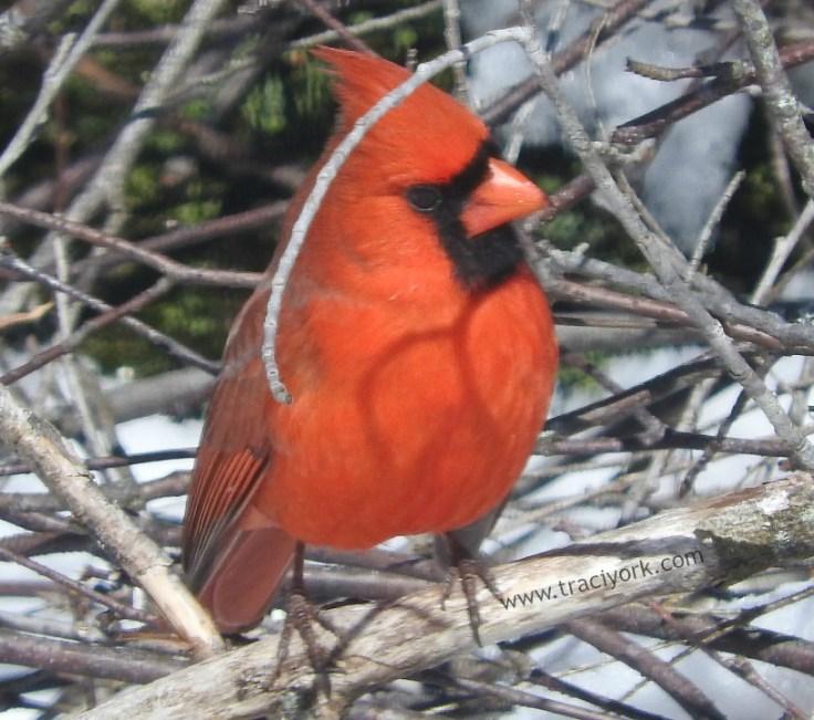 Cardinal in the snowlight