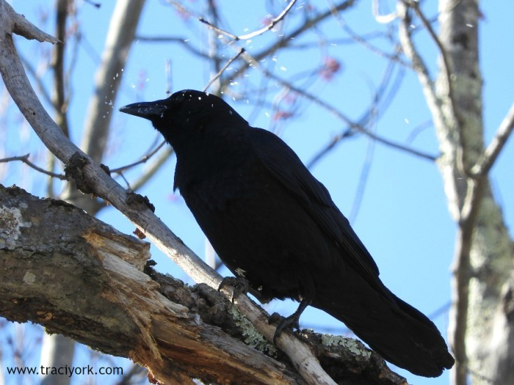 Crow eating snow