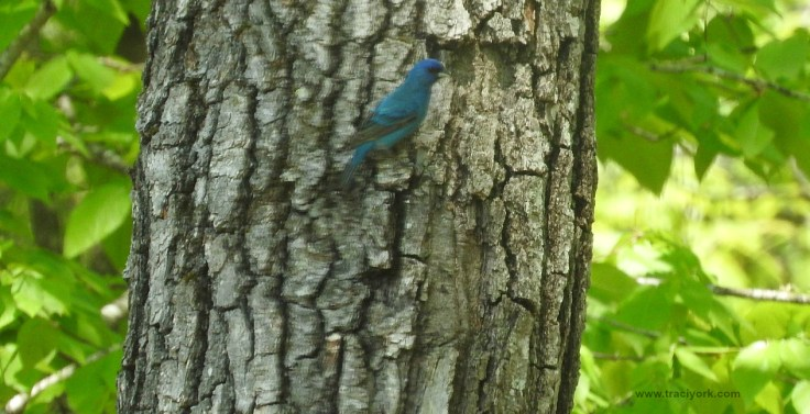 Foto Friday 12 Blurry Indigo Bunting - my first!